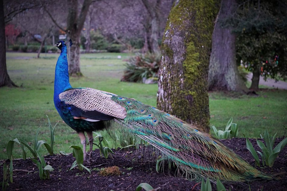 Peacock in Beacon Hill Park