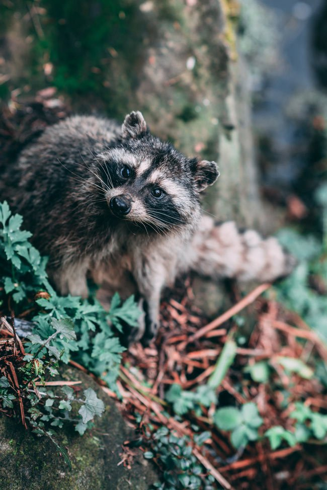 There's lots of wildlife – like this raccoon – in Stanley Park