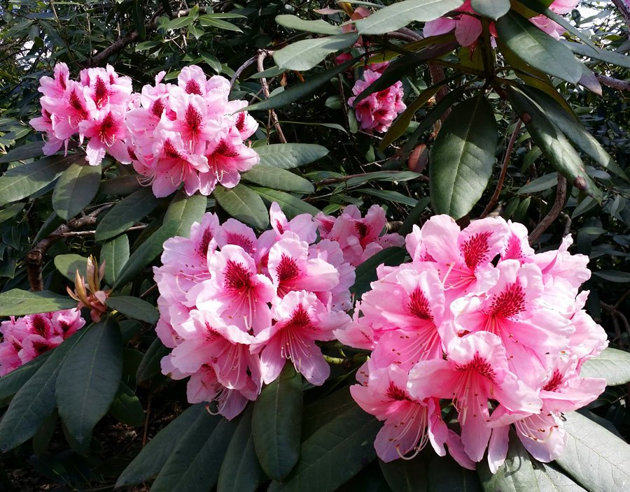 We love to see azaleas and rhodos bursting with color in spring!