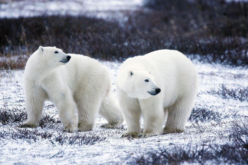 Polar bears at Wapusk National Park in Manitoba, Canada