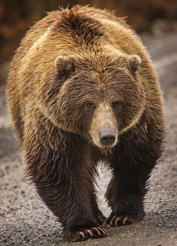 Grizzly bear in Kluane National Park