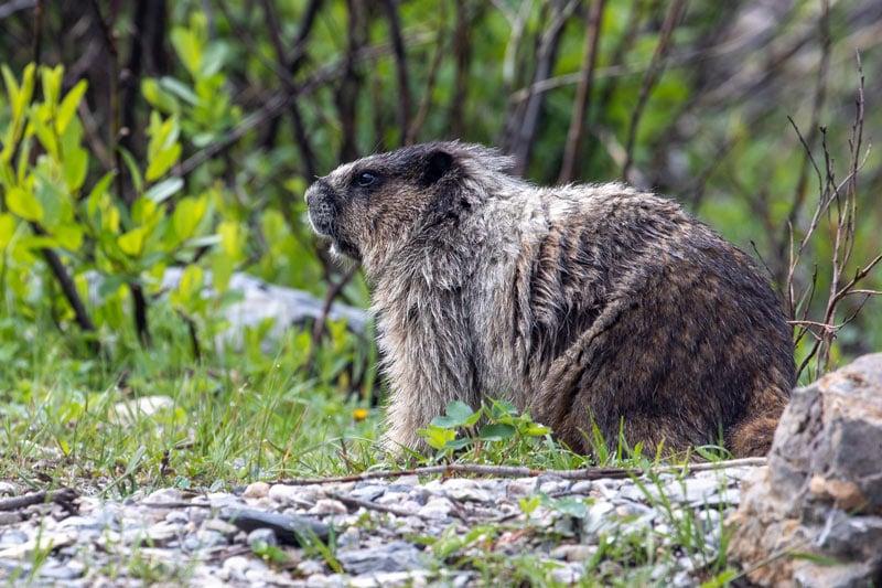 Marmot in Jasper National Park
