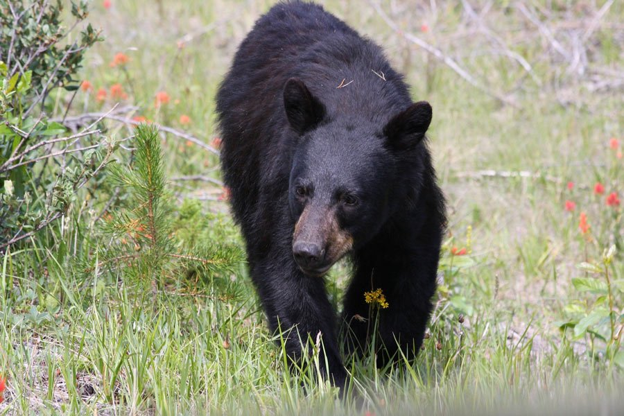 You often see bears at Medicine Lake in Jasper National Park.