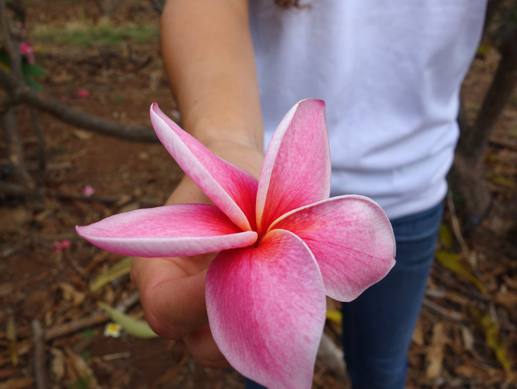 Pretty pink plumerias on Molokai, Hawaii