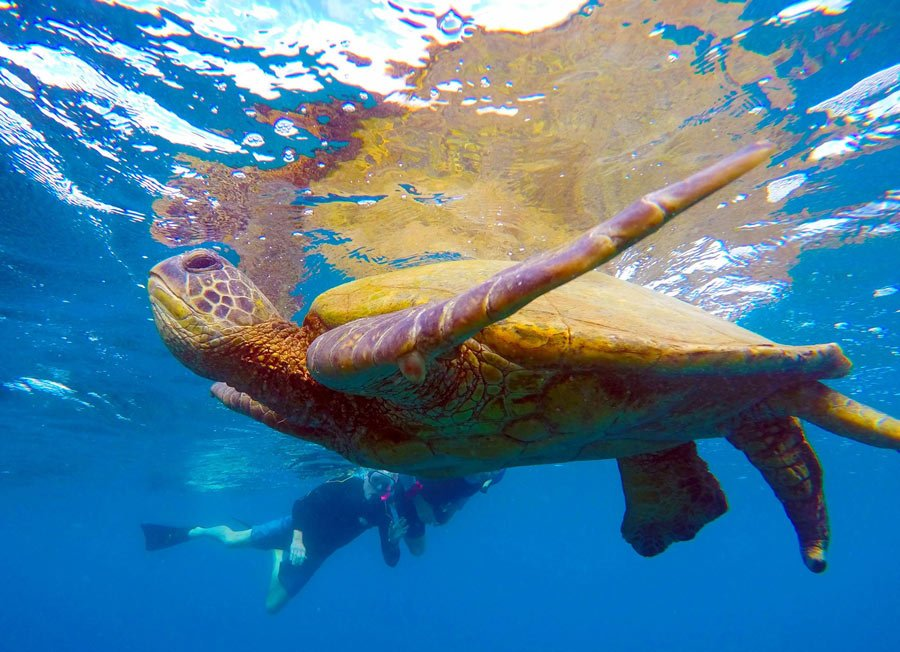 Snorkeling with Pacific Green sea turtles with UnCruise Hawaii
