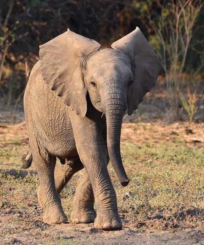 Baby elephant in Zambia