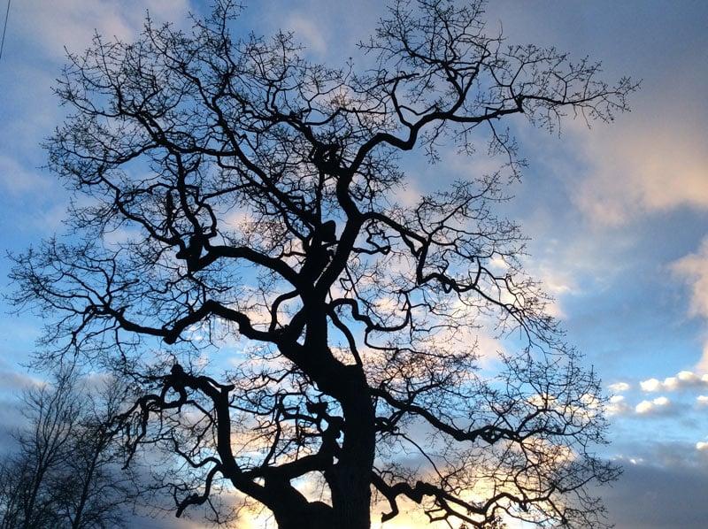 A majestic Garry Oak in Victoria, BC.