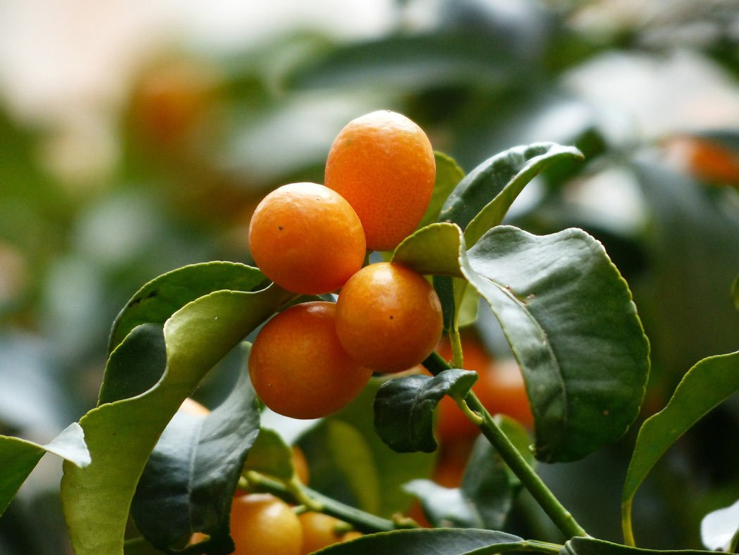 Fun facts about Corfu: The people drink kumquat liqueur.