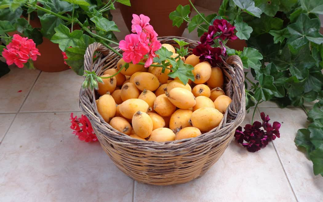 The loquat (in English) or nispero (in Spanish) is a small orange-colored fruit that grows well in Mexico.