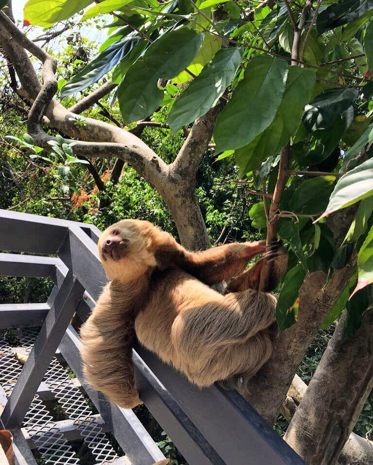 A sloth at Makanda by the Sea in Costa Rica