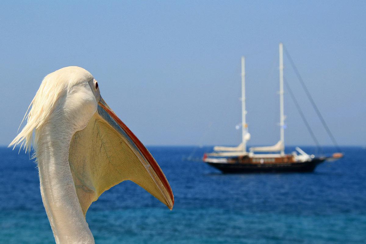 Petros the Pelican is Mykonos' unique mascot.