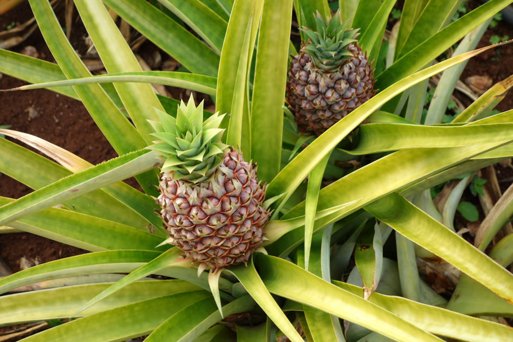 Pineapples growing on Lanai
