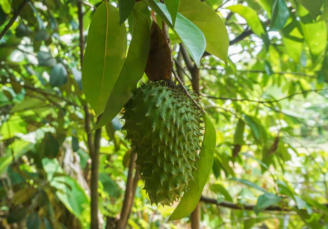 Custard apple, also known as guanabana or soursop, is a fruit grown in Mexico.
