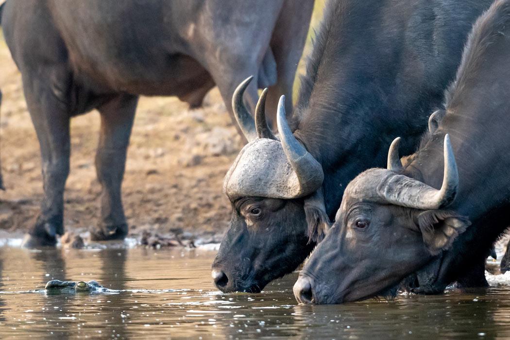 Buffalo drinking at a water hole