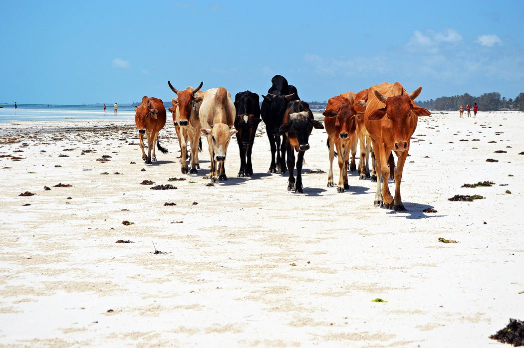 Cows on Matemwe Beach