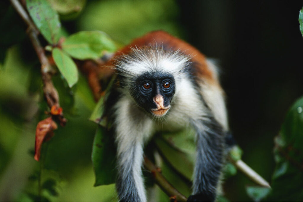 Fun things to see in Zanzibar? The red colobus monkeys.
