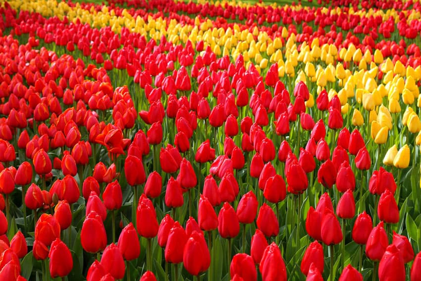 One of the world's largest flower gardens, Keukenhof is famous for its tulips.