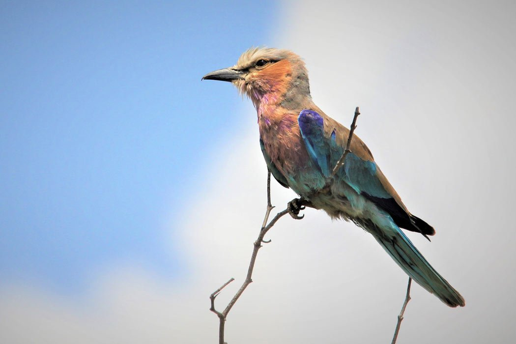 A lilac-breasted roller bird in Zambia