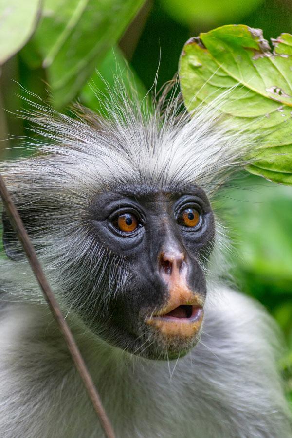 Colobus monkey in Zanzibar
