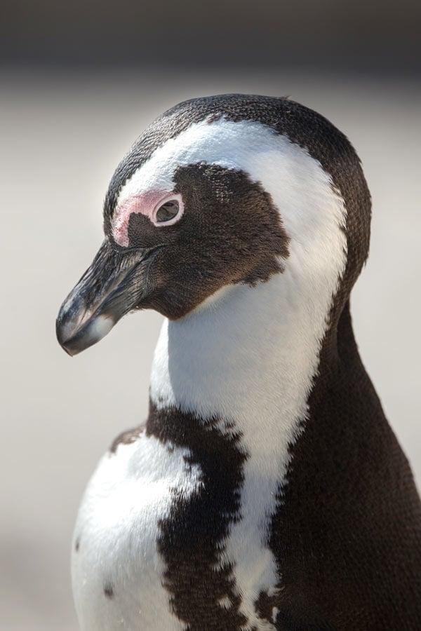Penguin at Boulders Beach, Cape Town