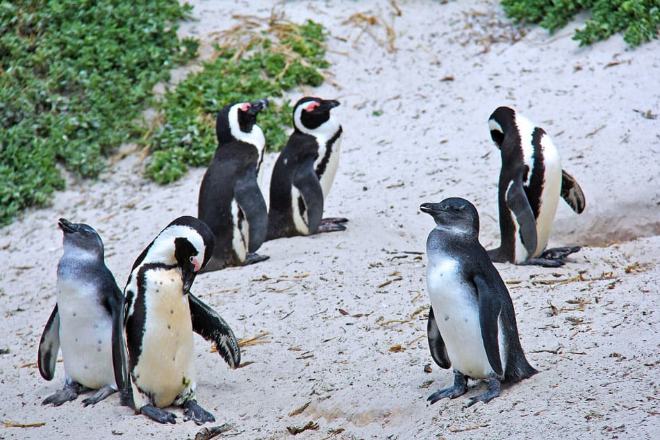 One of the most fun things to do in Cape Town is to see the penguin colony at Boulders Beach.