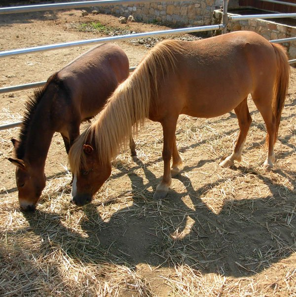 Skyrian horses on the quiet Greek island of Skyros