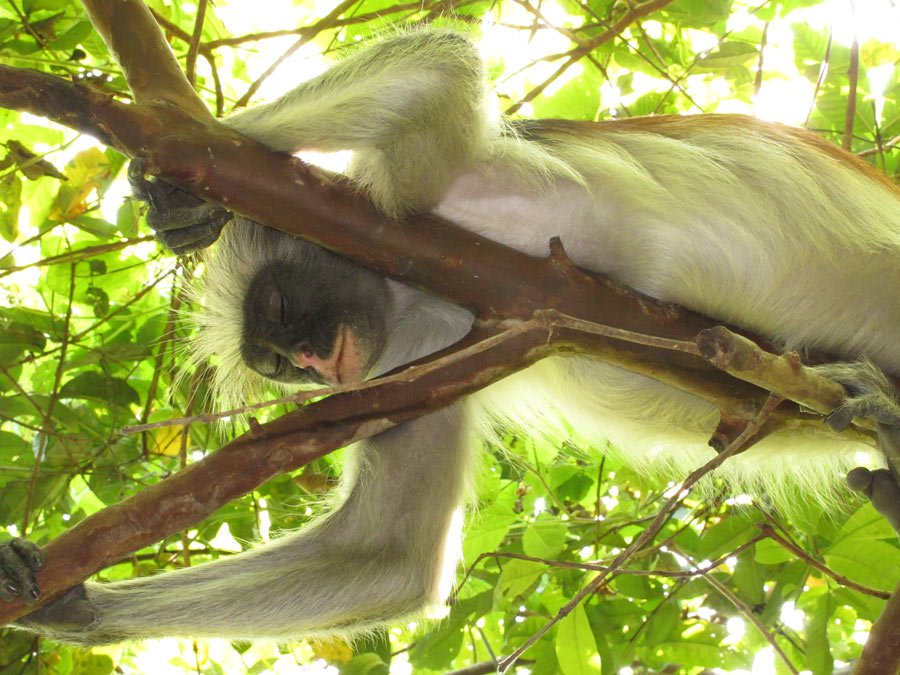 Sleeping red colobus monkey in Jozani Monkey Forest