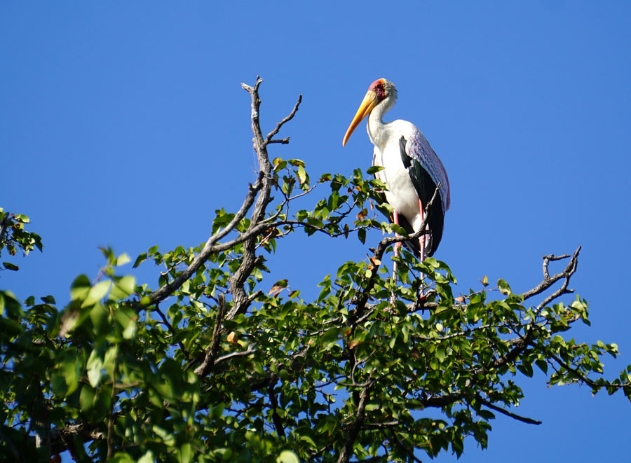 South Luangwa is also a birder's paradise; this yellow-billed stork is a pretty sight.