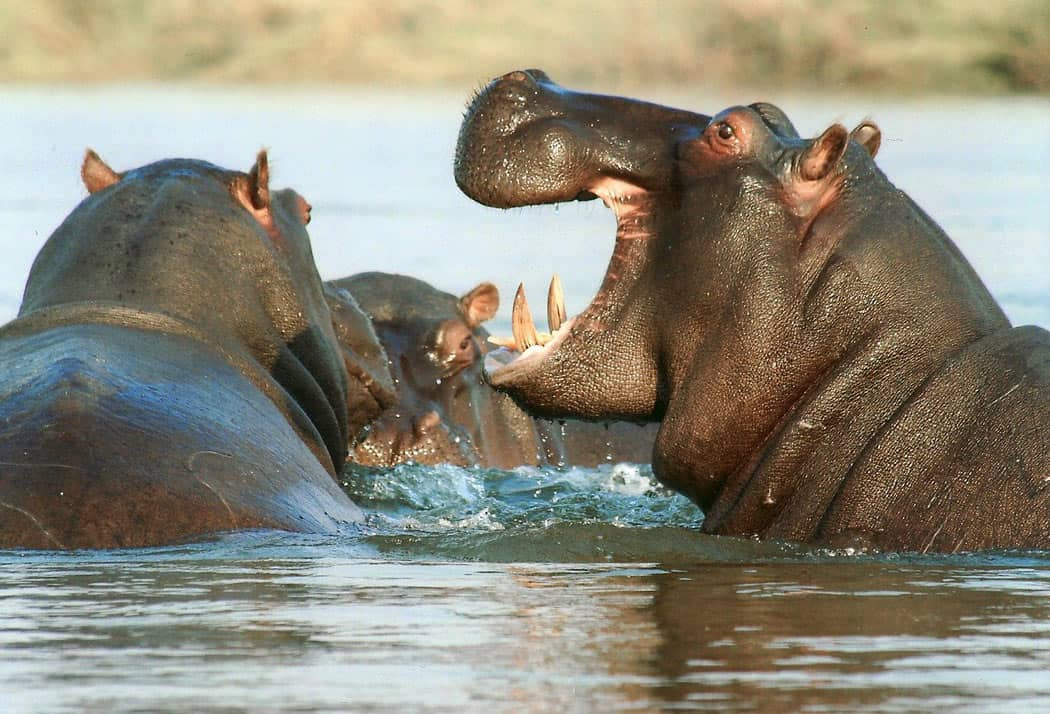 You see lots of hippos on a Zambia safari!