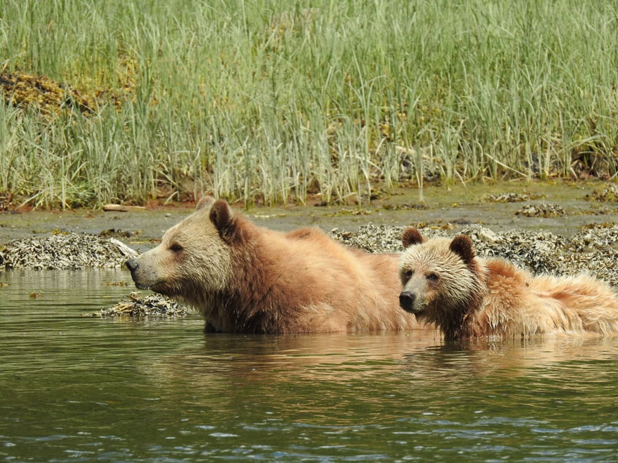 Grizzly bear tours, Vancouver Island