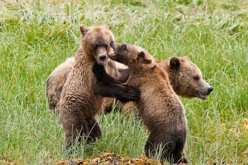 Grizzly bear viewing at Knight Inlet