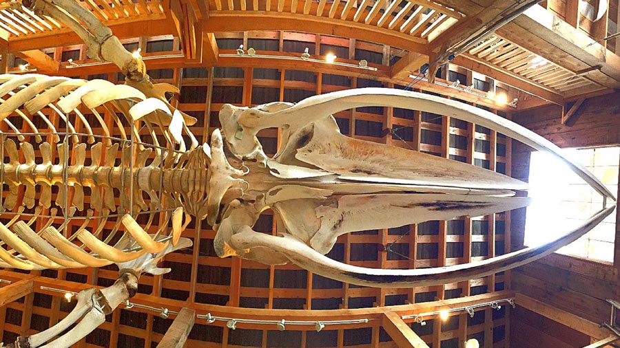 Whale skeleton at Telegraph Cove whale museum