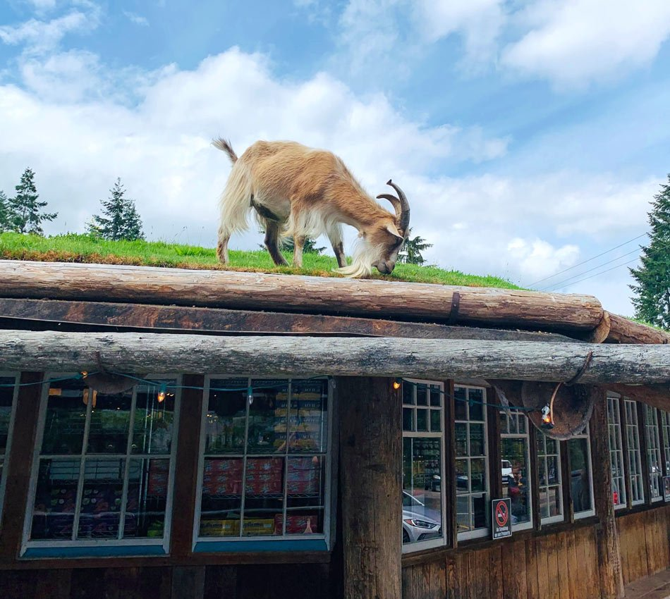 See goats on the roof in Coombs, British Columbia