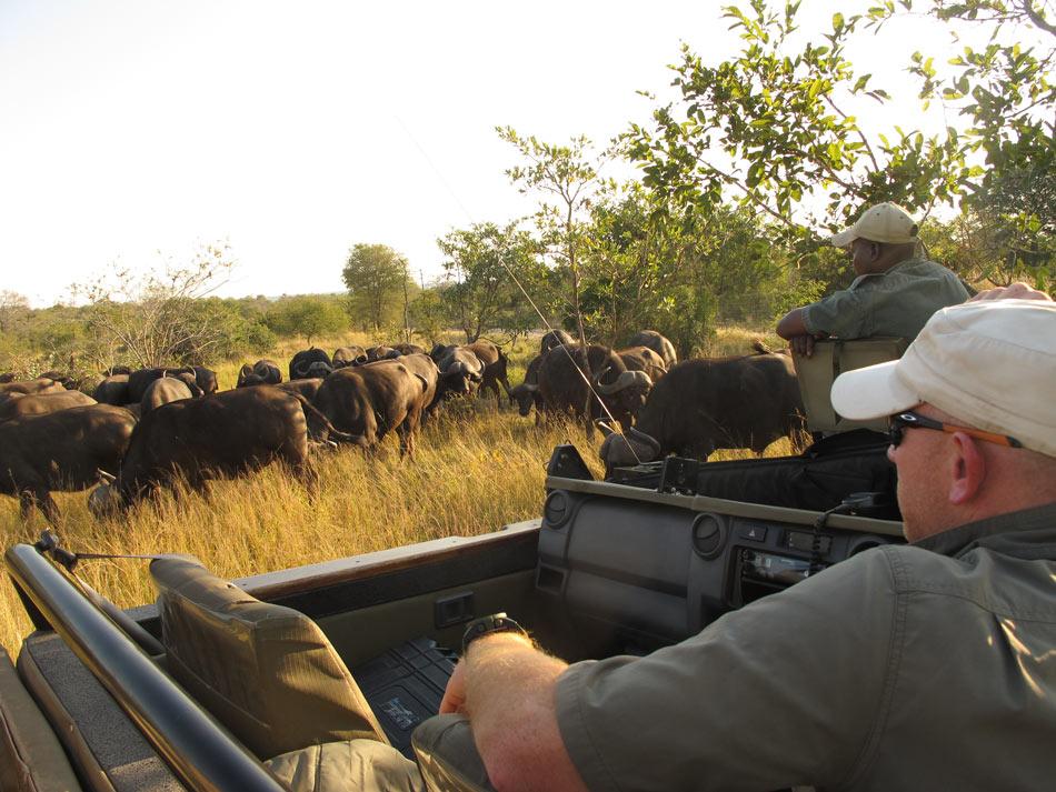 Viewing buffalo in South Africa in an open safari vehicle