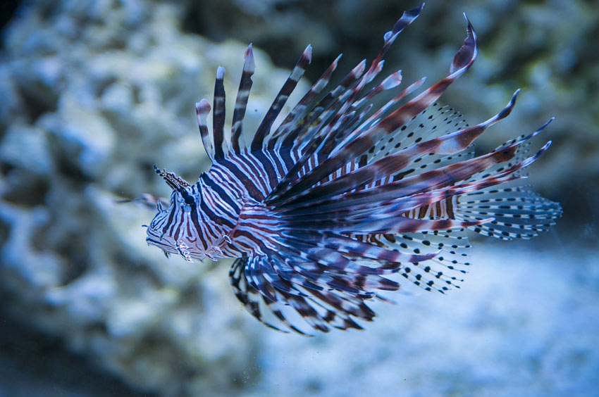 Hunting lionfish is okay because they're an invasive species in the Caribbean