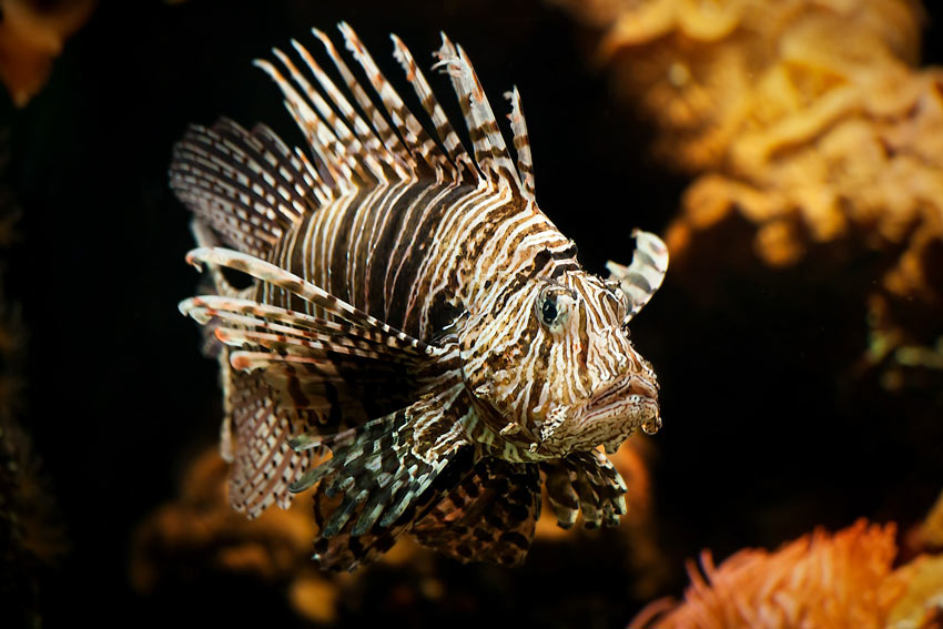 Lionfish spearing