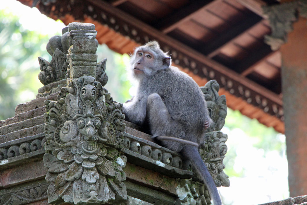 Macaque monkey sitting on a temple in the Ubud Monkey Forest