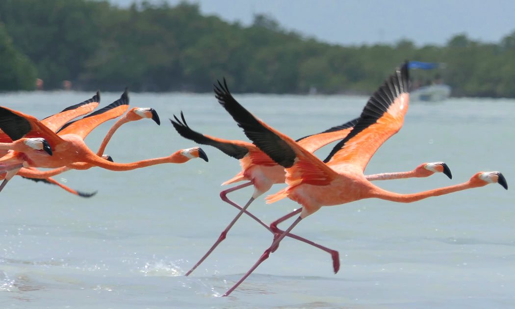 A boat ride to see the flamingos at Celestun is one of the amazing things to do in Mexico