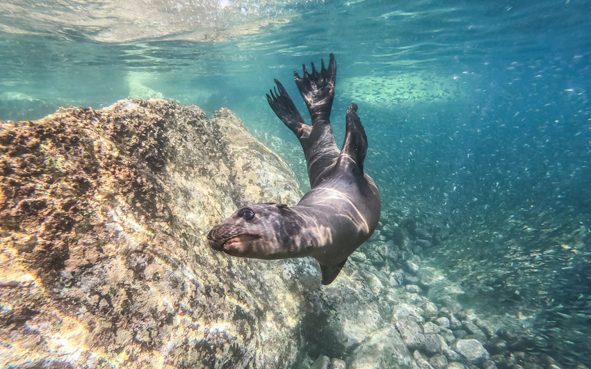 What to do in Mexico? Snorkel with sea lions at Los Islotes!
