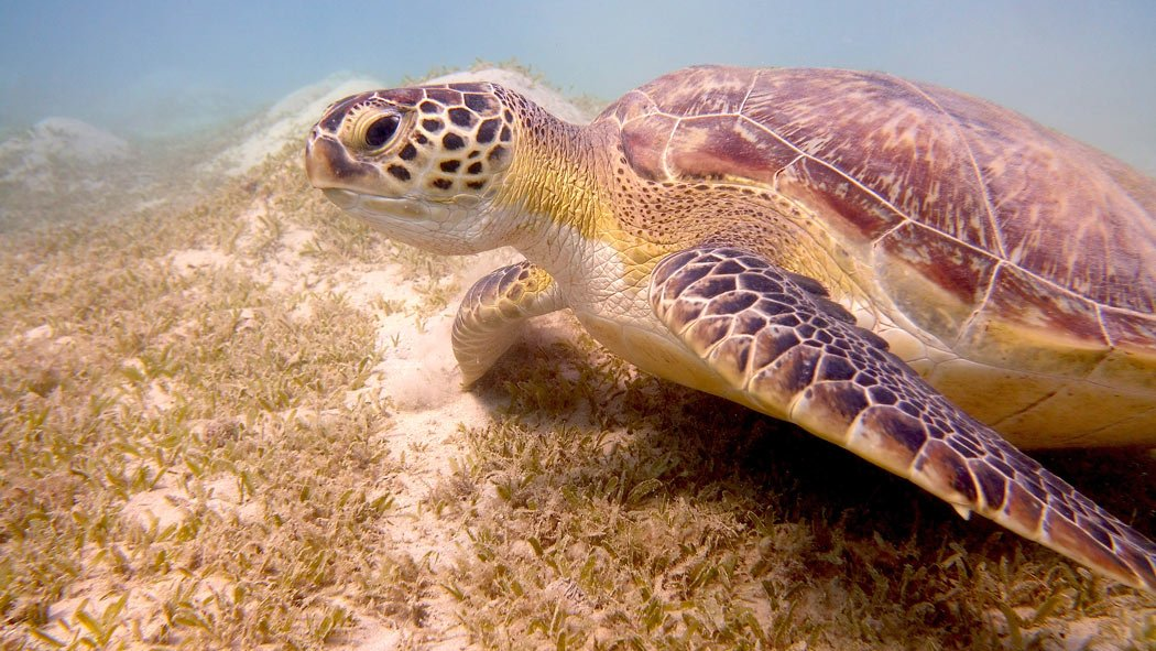 One of the top activities in Mexico is to swim with sea turtles in Akumal
