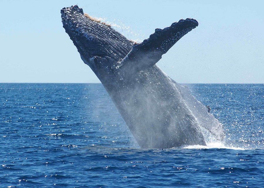 Whale watching is one of the best things to do in Mexico (in Cabo San Lucas and Puerto Vallarta) for nature lovers