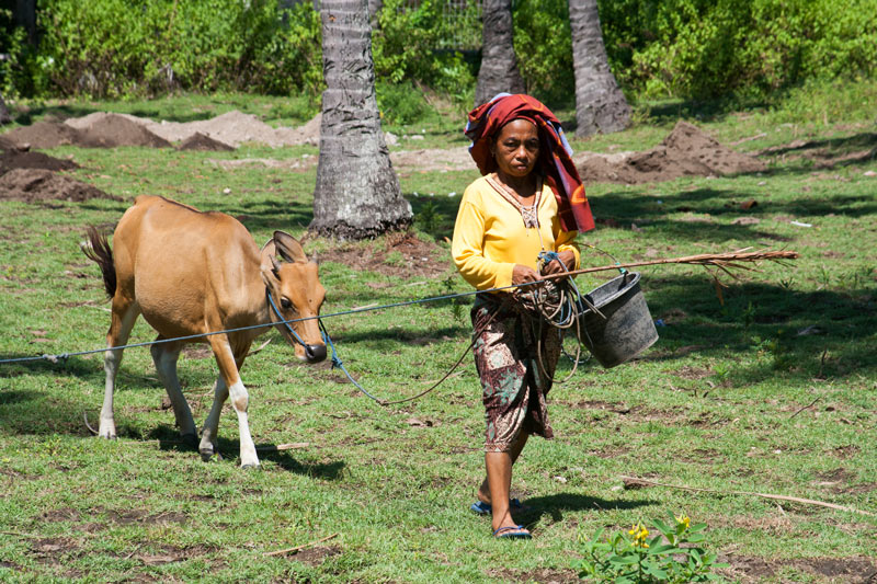 A village woman on Lombok leads a cow to a well to drink