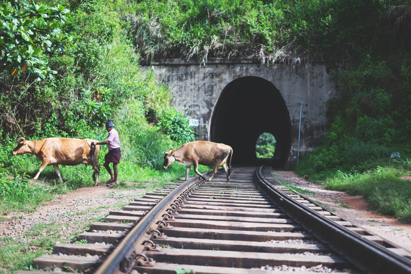 Cows cross the train tracks in Ella