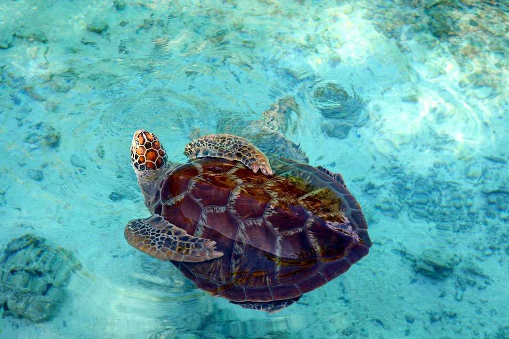 At Le Meridien Bora Bora, you can swim with sea turtles