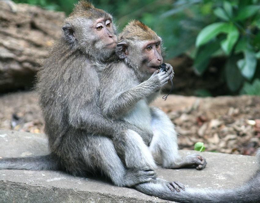 Monkeys at the Ubud Monkey Forest