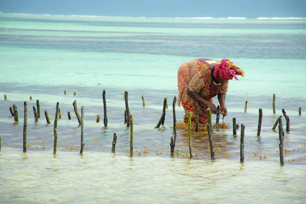 A woman harvests seaweed in Zanzibar