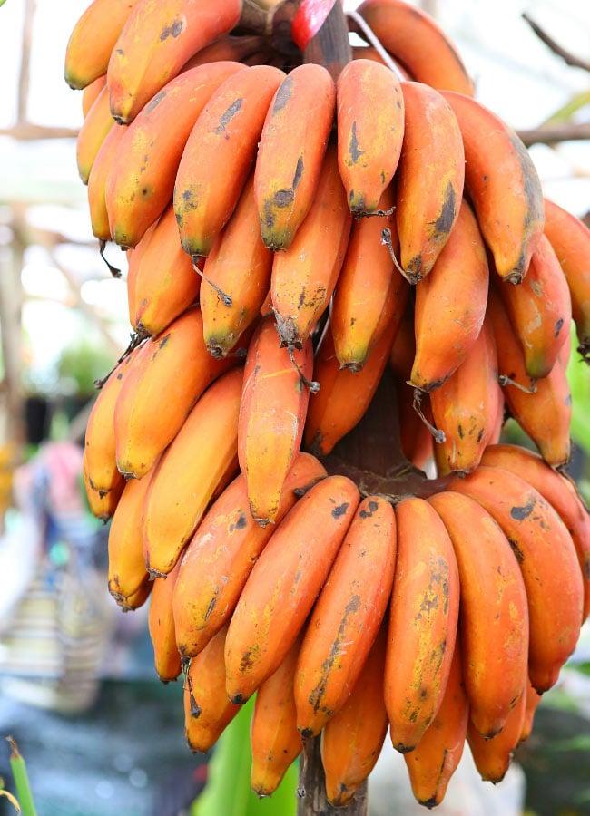 Apple bananas in Hawaii