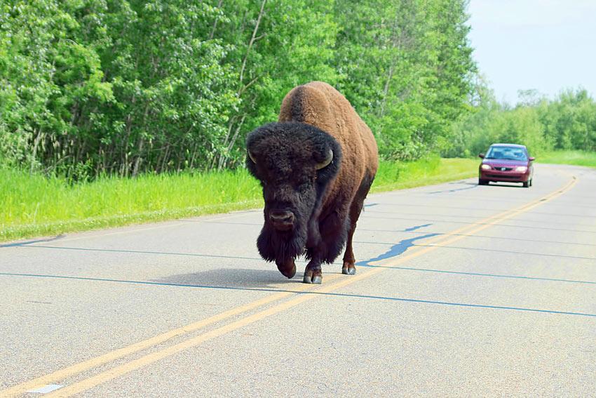 Bison on the road at Elk Island