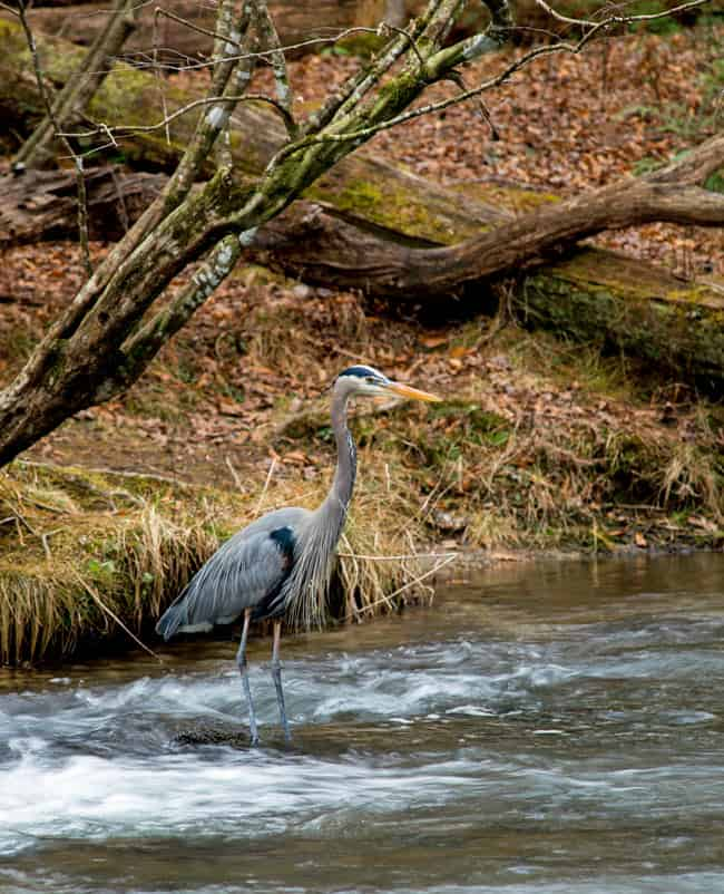 You might see blue herons on the Westsong Songhees walk