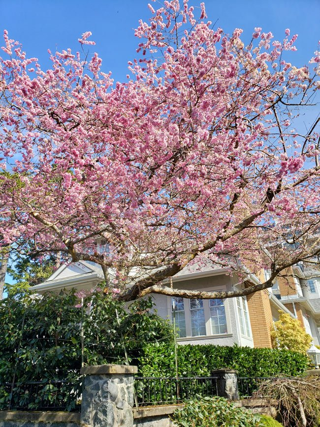 Cherry trees in Rockland, Victoria, BC